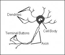 The Neuron and Neurotransmitters in Psychology 101 at AllPsych ...
